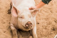 Close up head shot of gentle sweet smiling single dirty young domestic pink happy pig, with muddy face, big ears, well cared for a