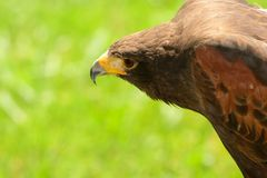 Head shot of a Harris hawk royalty free stock images