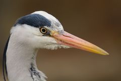 Head shot of a heron Stock Images