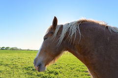 Close up and Head shot of Horse Royalty Free Stock Image