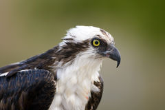 Close up head shot of an Osprey. A close up shot of an Osprey while he is eating a fish Royalty Free Stock Images