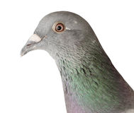 Close up head shot of pigeon bird isolate white background Stock Images