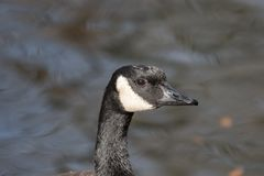 Close up head shot portrait of a Canada goose Royalty Free Stock Image