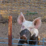 Close up head shot of sad, serious single dirty young domestic pink pig with muddy face and big ears Stock Images