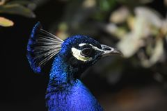 Head shot of a blue peacock stock photo