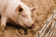 Close up head shot of sweet smiling single dirty young domestic pink pig with muddy face, big ears, dirty hoooves longing to be ou. Close up head shot of sweet royalty free stock image