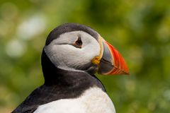 Close up head and shoulders of an Atlantic Puffin Fratercula arctica stock images