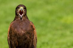 Harris Hawk Parabuteo unicinctus Bird of Prey stock photos