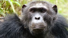 Close-up head and shoulders of depressed looking chimpanzee royalty free stock photo