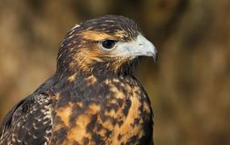 Close up head and shoulders of a Grey Buzzard Eagle stock images