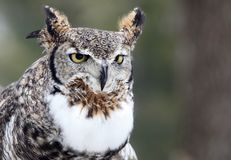 Close up image of a great horned owl stock images