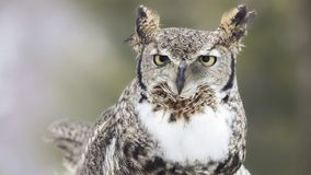 Close up image of a great horned owl royalty free stock photo