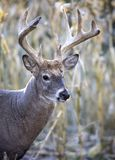 Close up whitetail buck royalty free stock image