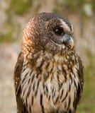 Mottled Owl Ciccaba virgata Bird of Prey royalty free stock images