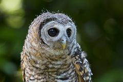 Juvenile Chaco Owl strix chacoensis Bird of Prey royalty free stock photo