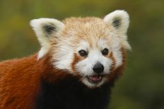 Close up head and shoulders of a Red Panda Ailurus fulgens stock images
