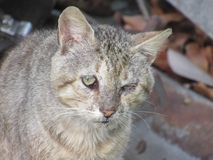 Old gray cat with a sad face. Close-up head and shoulders shot of a grizzled old cat with a sad-looking staring towards the camera Royalty Free Stock Photos