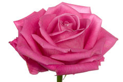Close-up head of single pink rose isolated Royalty Free Stock Photo