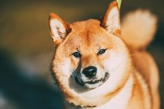 Close Up Head Snout Of Beautiful Young Red Shiba Inu Dog Outdoor. Close Up Head Snout Of Beautiful Young Red Shiba Inu Dog Staying Outdoor stock photo