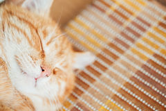Close Up Head, Snout Of Peaceful Orange Red Tabby Stock Images