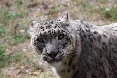 Eyes in the eyes with a snow panther Royalty Free Stock Photography