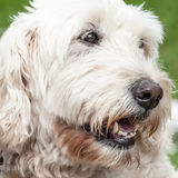 Close Up of the Head of a Soft Coated Wheaten Terrier Royalty Free Stock Image