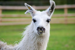 Close up on the head of a south american lama Royalty Free Stock Photo