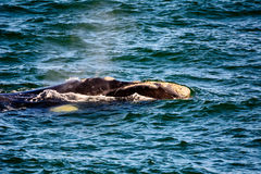 Close up of the head of a Southern right whale Royalty Free Stock Photography