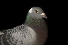 Close up head of speed racing pigeon bird on black background Royalty Free Stock Photo