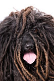 Close-up Head Study of a Puli on White Stock Image