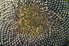 Close-up of the head of a sunflower. The sunflower head with ripe black seeds royalty free stock image