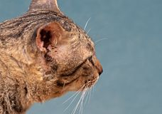 Close up Head of Tabby Cat Isolated on Blue Background, Selective Focus royalty free stock image