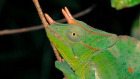 Close up head only of Three-horned chameleon sitting on stem of branch at night time. Close up of Green three-horned chameleon - trioceros deremensis resting on royalty free stock photos