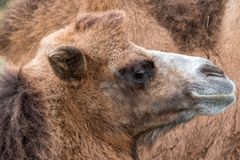 Close up of head of a two humped brown furry bactrian camel photographed at Port Lympne Safari Park in Kent, UK. Close up of head of a two humped brown furry stock images
