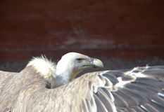 Close up of head of vulture. Close up of head of grey vulture Stock Photos