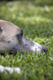 Close Up Of Head Of Whippet Banished From House Royalty Free Stock Photography