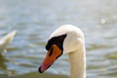 Close up of the head of a white goose. Black eyes and orange beak.  royalty free stock image