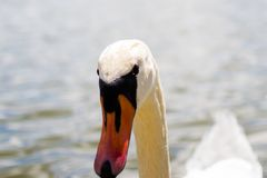Close up of the head of a white goose. Black eyes and orange beak stock photography