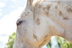 Close-up of the head of a white horse royalty free stock photo