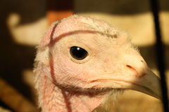 Close up on head of a white turkey Royalty Free Stock Images