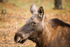 Close up of head of wild female moose, elk Royalty Free Stock Image