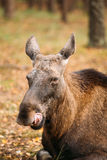 Close up of head of wild female moose, elk Royalty Free Stock Images