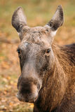Close Up Of Head Of Wild Female Moose, Elk Stock Image
