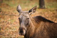 Close up of head of wild female moose, elk Stock Photo