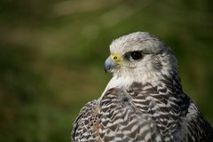 Close-up of head and wings of gyrfalcon Stock Image