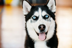 Close Up Head Young Happy Husky Puppy Eskimo Dog. With Blue Eyes royalty free stock images