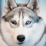 Close Up Head Young Husky Eskimo Dog With Royalty Free Stock Photo