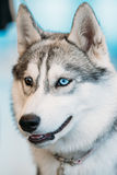 Close Up Head Young Husky Eskimo Dog With Stock Photos