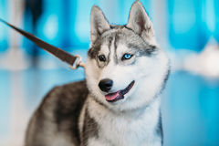 Close Up Head Young Husky Eskimo Dog With Royalty Free Stock Photos