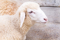 Close up head of young sheep in the farm. Royalty Free Stock Images